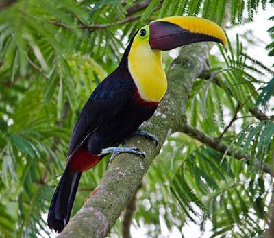 toucan in habitat